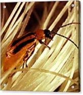 Western Corn Rootworm Beetle Acrylic Print