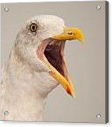 Western Gull Calling Loudly Acrylic Print