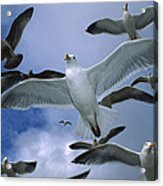 Western Gull Larus Occidentalis Flock Acrylic Print by Michael Durham/ Minden Pictures
