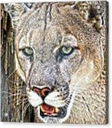 Western Mountain Lion Acrylic Print