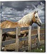 Western Palomino Horse In Alberta Canada No.1335 Acrylic Print
