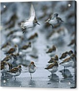 Western Sandpiper Calidris Mauri Flock Acrylic Print by Michael Quinton