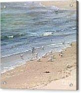 Western Sandpiper Acrylic Print