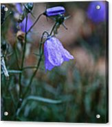 Wet Bellflower Acrylic Print