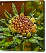 Wet Pinchshin Bud Acrylic Print