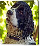 Wet Puppy Acrylic Print