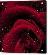 Wet Rose Acrylic Print
