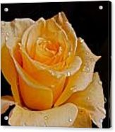 Wet Yellow Rose Acrylic Print