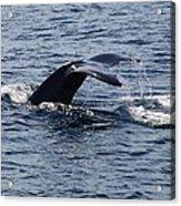 Whale Dive Acrylic Print
