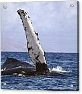 Whale Fin Above Water Acrylic Print