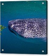 Whale Shark Feeding On Fish, La Paz Acrylic Print