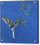 Whale Shark Tail Near Surface With Sun Acrylic Print