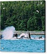 Whales Bubble Net Feeding Acrylic Print