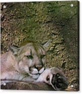 What A Paw Acrylic Print