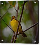 What Warblers Do Acrylic Print