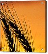 Wheat At Sunset Acrylic Print