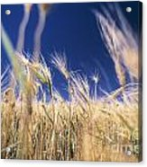 Wheat Field Acrylic Print by Juan  Silva