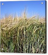 Wheat Field (triticum Sp.) Acrylic Print