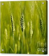 Wheat On The Field Acrylic Print