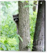 When Raccoon Dream Acrylic Print