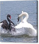 When Swans Attack Acrylic Print