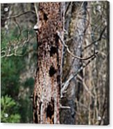 When Woodpeckers Attack Acrylic Print