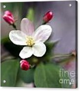 Where Apple Blossoms Blow Acrylic Print