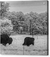 Where The Buffalo Roam Acrylic Print