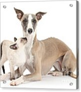 Whippet And Siamese Kitten Acrylic Print