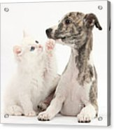Whippet Puppy And Kitten Acrylic Print
