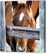 Whiskers 1 Acrylic Print