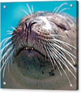 Whiskers Of A Seal Acrylic Print