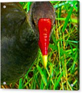 Whistling Duck Acrylic Print