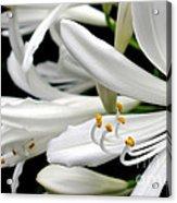 White Agapantha Acrylic Print