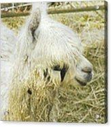 White Alpaca Photograph Acrylic Print