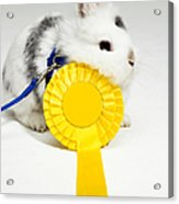 White And Black Rabbit On Blue Leash With Yellow Rosette Acrylic Print by Michael Blann