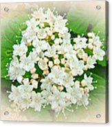 White And Cream Hydrangea Blossoms Acrylic Print