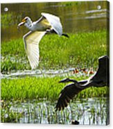 White And Grey Herons In Flight Acrylic Print