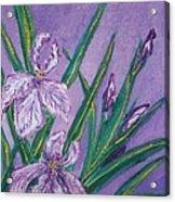 White And Mauve   Irises Acrylic Print