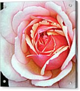 White And Pink Acrylic Print
