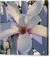 White And Pink Magnolia Acrylic Print