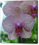 White And Pink Orchid Acrylic Print