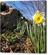 White And Yellow Daffodil Flower Acrylic Print