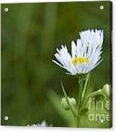 White Aster Wildflower Acrylic Print