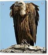 White-backed Vulture Acrylic Print