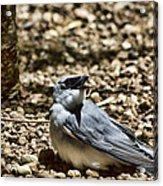 White-bellied Cuckoo-shrike Acrylic Print