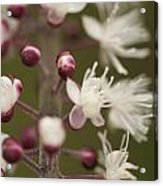 White Blooming Flowers Acrylic Print
