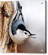 White-breasted Nuthatch 3 Acrylic Print
