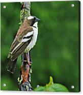 White-browed Sparrow-weaver Acrylic Print