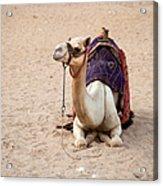 White Camel Acrylic Print by Jane Rix